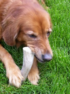 elk antler chews,antler chews,antler chews for sale in illinois,organic dog chews,deer antlers for dogs,antler dogs,wholsesale antler chews