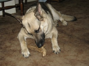 sophie from Mississippi enjoying her grateful shed antler chew