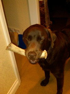 antler chews,antler chews online,antler dog chews,elk antler dog chews,antler dog bones.antler chews illinois,wholesale antler dog chews,grateful shed antler chews, dog chews,antler dog ,deer antlers for dogs