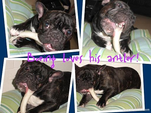 antler dog chews,elk antler dog chews,deer antlers dogs,organic dog treats,organic dog chews,logest lastign dog chews,antler chew dealers,wholesale antler dog hews, antler dog chews for sale hawaii,antler chews boston