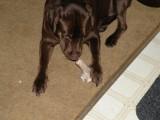 antler dog chews,elk antler dog chews,organic dog chews,natural,deer,pet chews