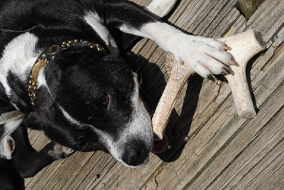 This is Caspian from Illinois! Elk antlers for dogs!