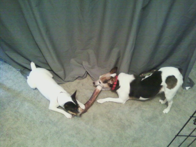 antler dog chews, deer antler dog chews,antler chews, california,antler dog chews florida,