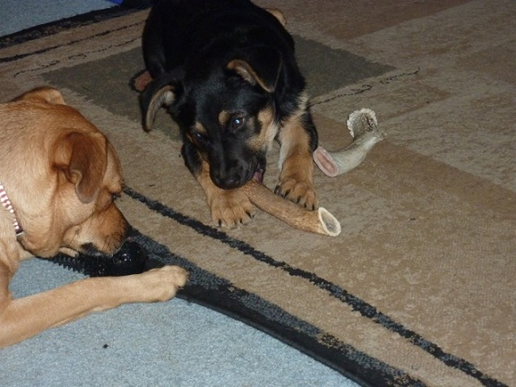 antler dog chews, durable dog chews,elk antler dog chews, moose chews,