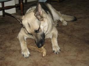 sophie from Mississippi enjoying her grateful shed antler chew