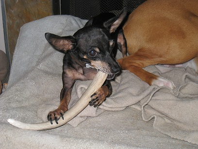 deer antler dog chews,illinois antler chews,antler dog chews illinois,antler dog chews boston,