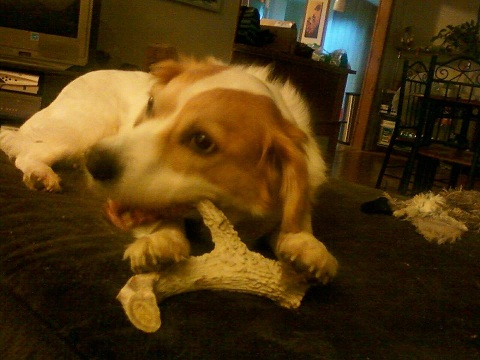 antler dog chews, antlers for dogs, largest antler chews